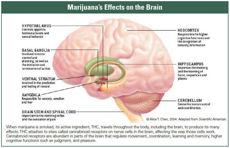 THC Effects on Brain